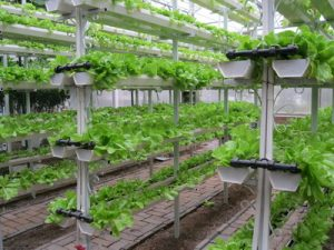 Phosphoric Acid in Soilless Cultivation